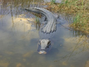 Gator at Shark Valley