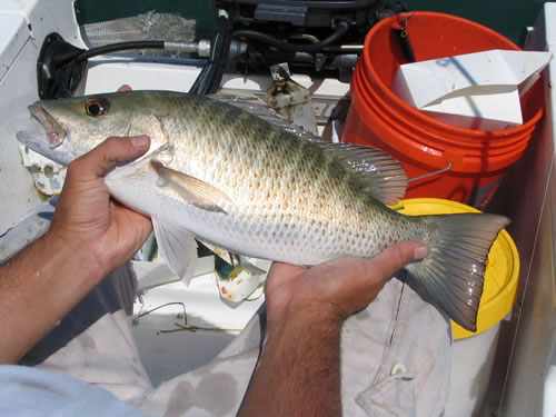 how to cook mangrove snapper