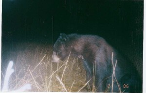 Everglades Black Bear