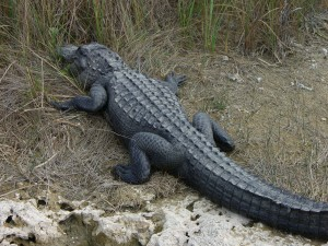 American Alligator at Shark Valley