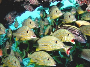Grunts on Frenchman's Reef off Key Largo