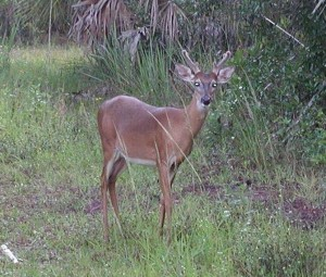 Deer in Velvet Antlers on Florida Trail
