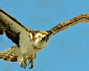 Hawk in Flight on Florida Trail
