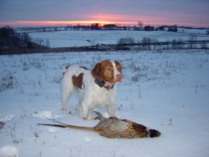 Cheka, King of the WI Bird Dogs!